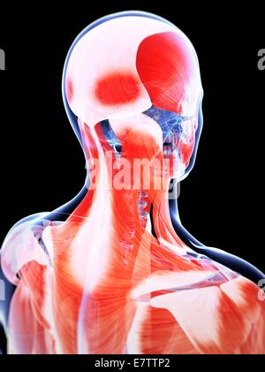 Human head and neck muscles, computer artwork. - Stock Photo
