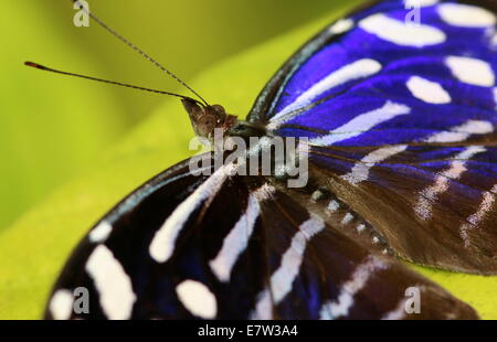 Tropical Blue Wave Butterfly (Myscelia cyaniris) a.k.a.  Cyan Bluewing, Whitened Bluewing, Blue-banded Purplewing - Stock Photo