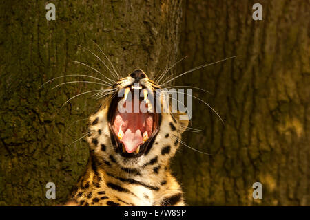 Extremely Rare Amur Leopard (Panthera Pardus Orientalis) Yawning - Stock Photo