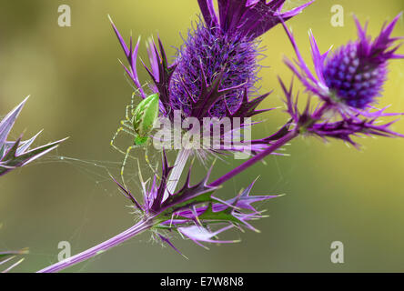 Green Lynx spider (Peucetia viridans) making a web on purple Eryngo wildflower - Stock Photo