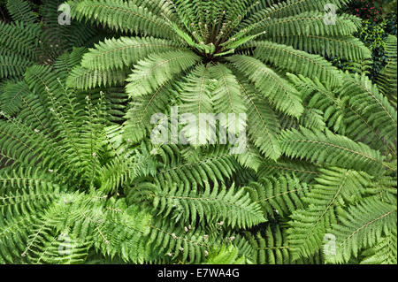 Royal Botanic Gardens, Kew, London.  Ferns in the Temperate House, currently closed for restoration - Stock Photo