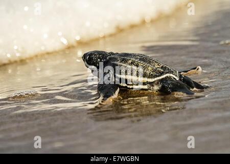 Leatherback Sea Turtle (Dermochelys coriacea) Hatchling heading to the ocean on Amelia Island in Florida. - Stock Photo