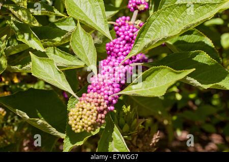 American beautyberry plant (Callicarpa americana) - USA - Stock Photo