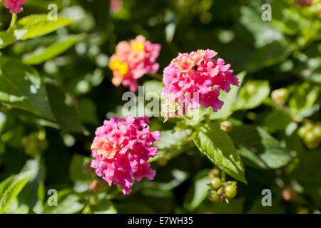 Lantana flowers (Lantana camara) - Stock Photo