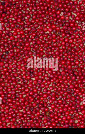 Sorbus aucuparia . Rowan tree berries pattern.