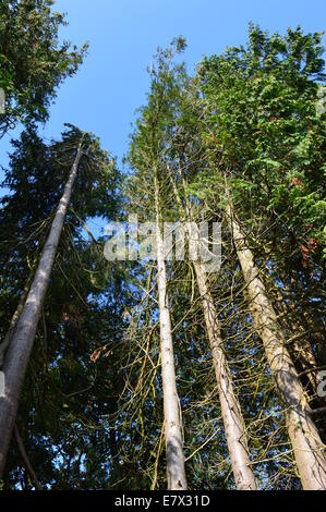 Tall pine trees in forest under a blue sky - Stock Photo