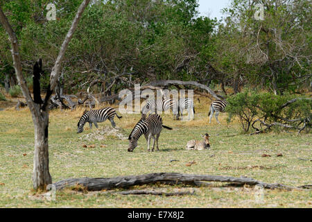 Wild Burchell's zebra in Africa's National park, a lovely safari sight. Large herd grazing on the open plains with - Stock Photo