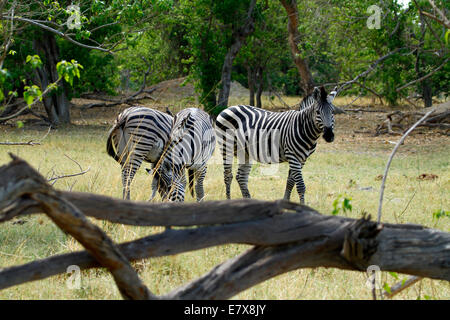 Wild Burchell's zebra in Africa's National park, a lovely safari sight. Herd grazing together - Stock Photo