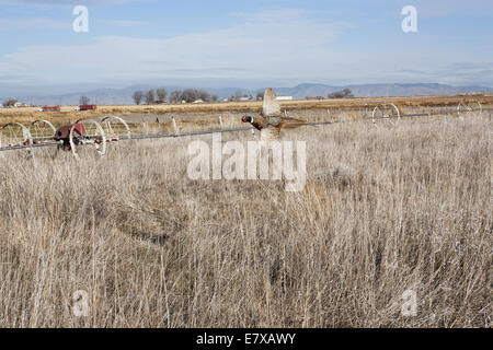 Ring-necked pheasant flying over field in fall - Stock Photo