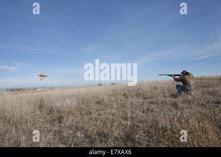Man in field hunting ring-necked pheasant with shot gun - Stock Photo