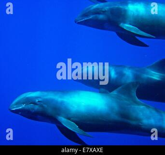 Melon head whales swim off the Pacific Remote Islands Marine National Monument September 2, 2008. - Stock Photo