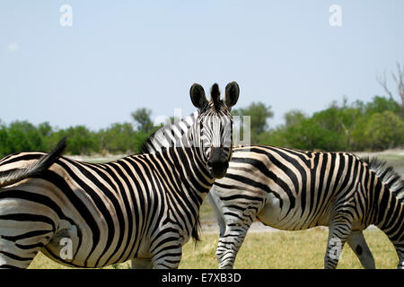 Wild Burchells zebra in Africa's National park, lovely safari sight. Note the light brown stripe in between each - Stock Photo