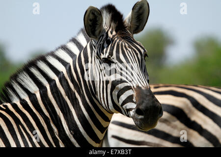 Wild Burchell's zebra in Africa's National park, a lovely safari sight. Close up head study of a magnificent zebra - Stock Photo