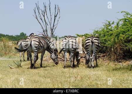 Wild Burchell's zebra in Africa's National park, a lovely safari sight. Bottoms up ! Rear view of zebras backsides - Stock Photo