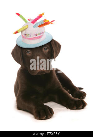 Happy birthday labrador retriever puppy dog - Stock Photo
