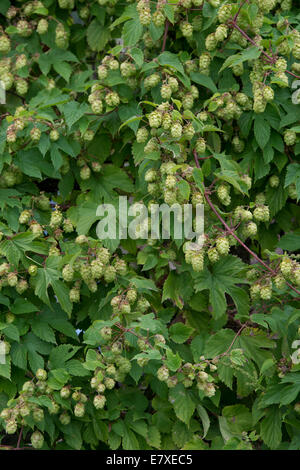 Humulus lupulus. Hops on the vine - Stock Photo