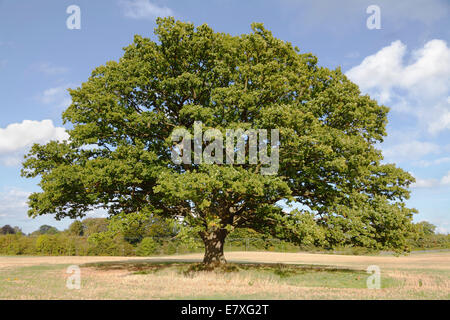 Big, old oak tree (common oak, English oak, Quercus robur) with green leaves on an early autumn blue sky. - Stock Photo
