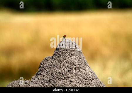 The Common Agama, red headed or rainbow agama lizard is found in sub Sahara Africa, males are very territorial, - Stock Photo