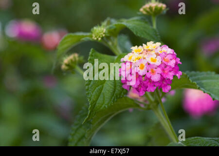 Lantana camara 'Feston Rose' flowers. - Stock Photo