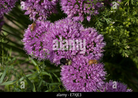Chive and coriander blossoms are visited by honey bees and bumble bees. - Stock Photo