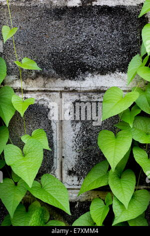 Brick wall covered in green ivy - Stock Photo