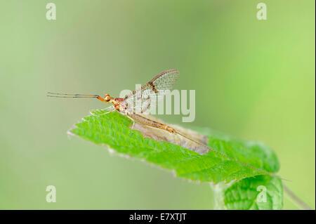 Mayfly (Ephemera lineata), male, North Rhine-Westphalia, Germany - Stock Photo