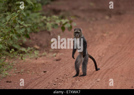Blue monkey, or samango monkey, (Cercopithecus mitis) standing upright. This monkey lives in troops, deferring to - Stock Photo
