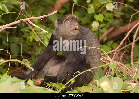 Blue monkey, or samango monkey, (Cercopithecus mitis) in a tree. This monkey lives in troops, deferring to a dominant - Stock Photo