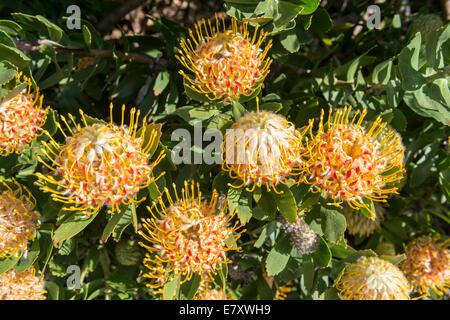 Protea inflorescences (Leucospermum conocarpodendron x glabrum), cloeseup, Kirstenbosch Botanical garden, Cape Town, - Stock Photo