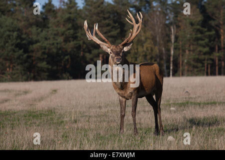 Rothirsch Cervus elaphus - Stock Photo
