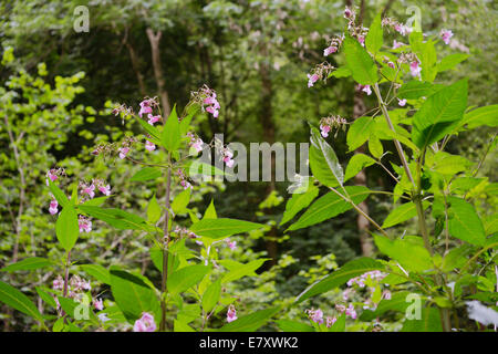 Himalayan balsam, Impatiens glandulifera, invasive introduced non native plant, Wales, UK.