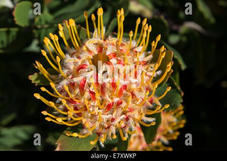 Protea inflorescence (Leucospermum conocarpodendron x glabrum), cloeseup, Kirstenbosch Botanical garden, Cape Town, - Stock Photo