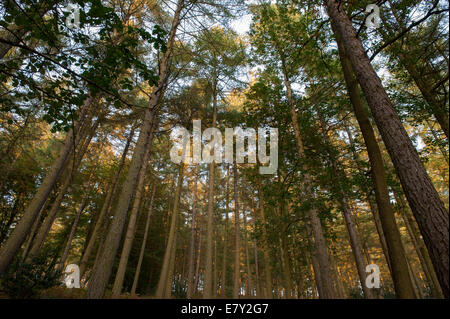 View looking upwards to the sky through branches of tall, soaring trees.in pine woodland - Strid Woods, Bolton Abbey - Stock Photo