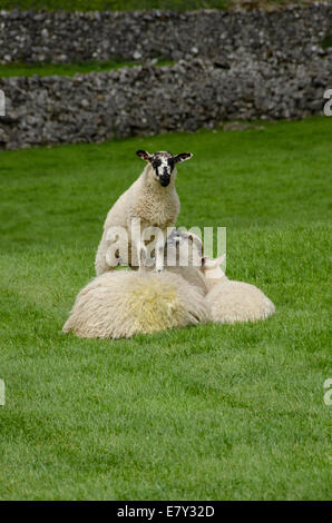 2 cute lambs & patient mother. 1 nosy lamb standing on mother's back, staring at camera, 1 lying  by her side - - Stock Photo
