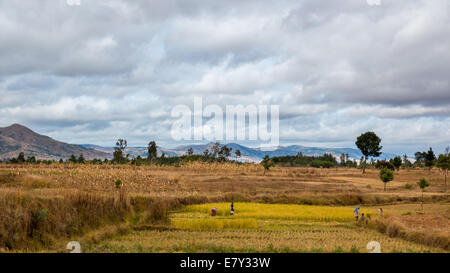 Malagasy men and women working in the fields during harvest time in the central highland regions of Madagascar on May 23, 2014.