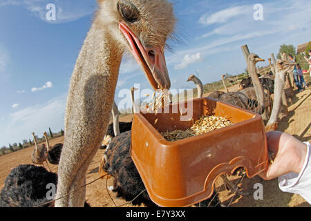 Ostrich seen in a farm in the island of Majorca, Spain - Stock Photo
