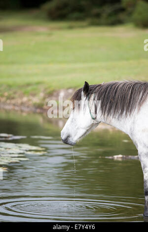 A grey coloured new forest pony drinking from hatchet pond at east boldre in the new forest hampshire uk. The ponies - Stock Photo