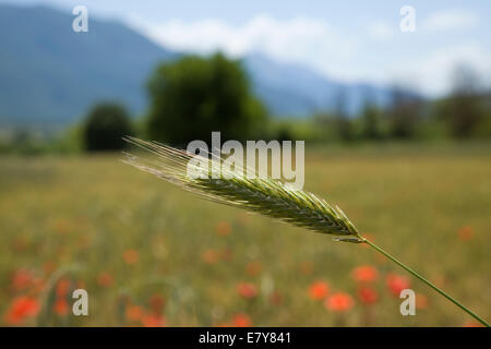 single chaff of wheat growing in a field in a warm and sunny country setting - Stock Photo
