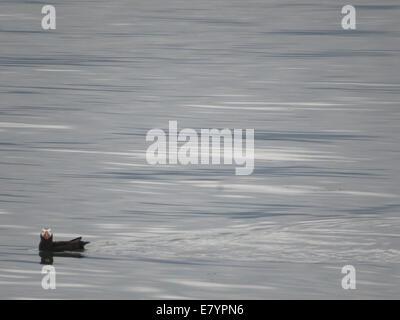 A Tufted Puffin (Fratercula cirrhata) floating near South Marble Island in Glacier Bay, Alaska. - Stock Photo