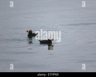 A pair of Tufted Puffins (Fratercula cirrhata) floating near South Marble Island in Glacier Bay, Alaska. - Stock Photo