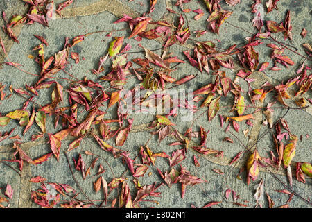 Koelreuteria paniculata. Pride of India / Golden Rain Tree leaves on a concrete garden path. UK - Stock Photo