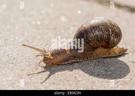 Close up of a snail on a stone path - Stock Photo
