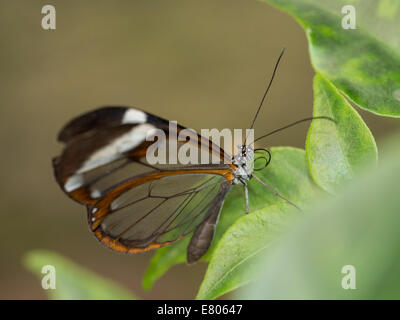 Transparent brown butterfly resting on leaf - Stock Photo