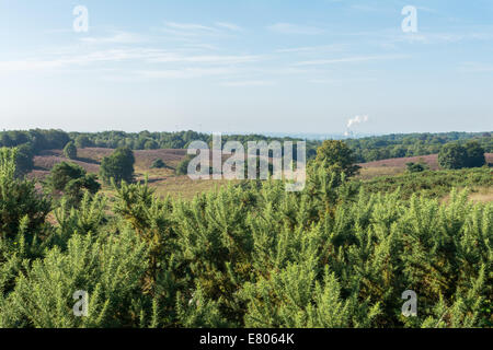 Looking out over gorse bushes onto dutch heathland - Stock Photo