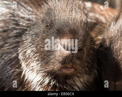 Closeup facial shot of the malayan porcupine - Stock Photo