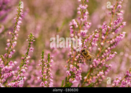 Heather in bloom closeup with solitary wasp - Stock Photo