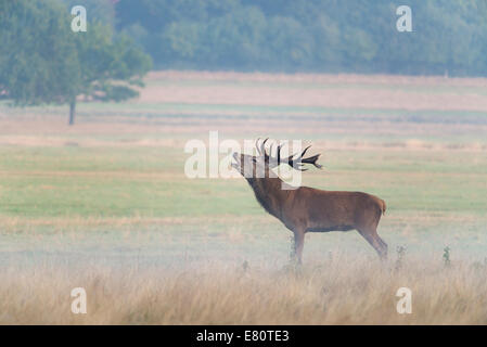 A majestic looking red deer stag with 8 points to its antlers standing proud in the early morning autumn mist in - Stock Photo