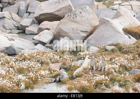 Two sledge dog puppies of the greenland dog in autumn - Stock Photo