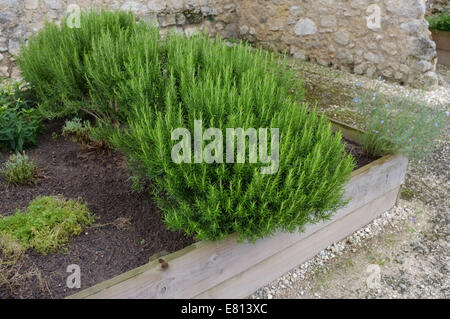 Rosmarinus officinalis, commonly known as rosemary growing in a trough - Stock Photo