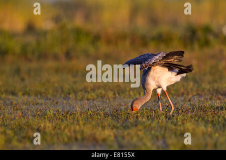 A yellow-billed stork forages in the flooded grasslands of Bangweulu Wetlands, Zambia - Stock Photo